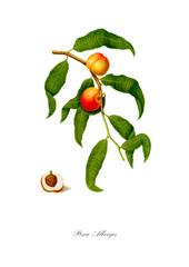 Peach vintage botanical poster.