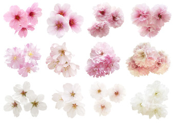 Close up sakura or cherry blossom isolated on white background. Japanese Spring Flower Sakura isolated. Pink Cherry Flower with background cut out. No tree only flowers.