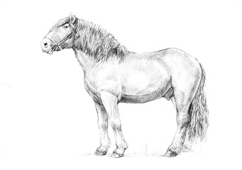 Draft horse illustration. Horse portrait. Horse pencil drawing.