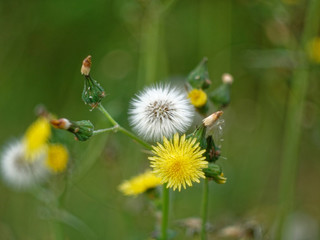 white and yellow flowers of dandelion