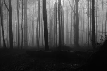 Smog, smoke or mist inside an old beech tree fagus forest