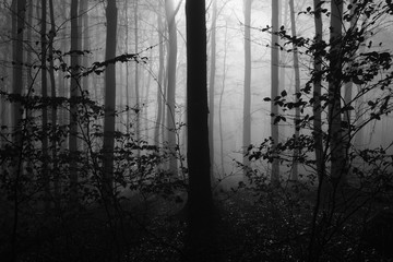 Old Fagus Forest Trees inside of fog