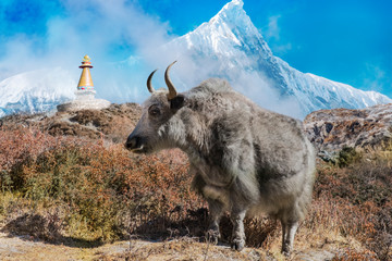 Nepal Yak in front of mountain massif