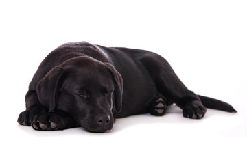 Sleeping labrador puppy isolated on white background