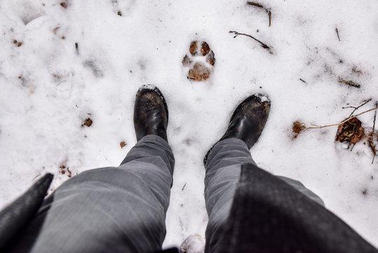 Mountain Lion paw print in the snow