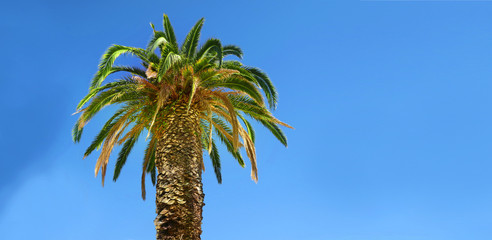 strong broad palmtree with blue sky in the background