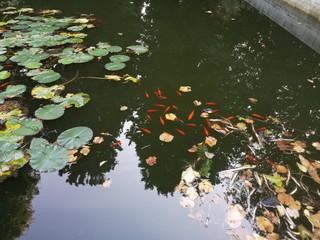 Carp Fish swims among water lily