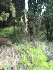Banded Garden Spider. Web. Shiloh Ranch Regional Park in southeast Windsor includes oak woodlands, forests of mixed evergreens, ridges with sweeping views of the Santa Rosa Plain, canyons. - Image
