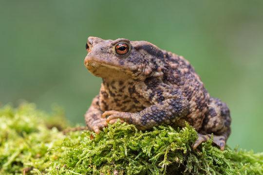 toad - bufo bufo