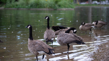 canadian geese next to lake