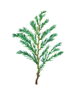 Watercolor Cypress Tree Branch isolated on white