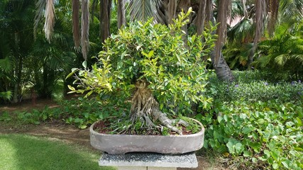 small bonsai tree with green leaves on cement table in Guanica, Puerto Rico