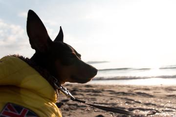 海辺にたたずむ黒い犬。ノスタルジック、センチメンタル、感傷に浸るミニピン。フィルム写真風