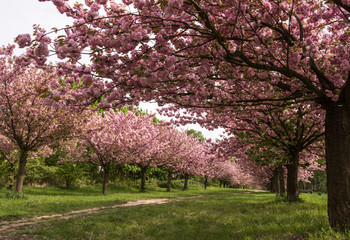 Path lined with Sakura trees in bloom - cherry blossoms walking path