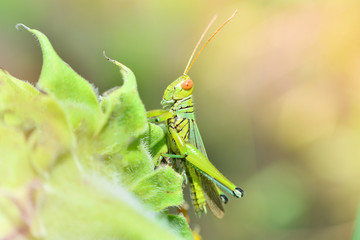 Grasshopper on leaf / Green grasshopper on plant and sunlight in the field Meadow and green nature