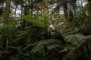 Ferns growing in Redwood forest, Sun setting through branches