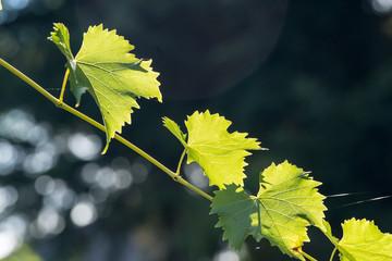 Fotoväggar - leuchtend grüne Weinblätter an einem diagonalen Ast