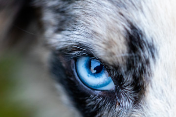 blue eye of dog