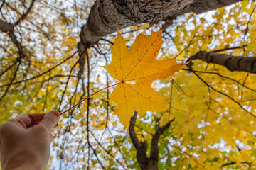 A maple yellow carved leaf on a blurred background in a hand