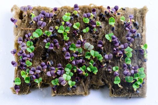 sprouts basil closeup microgreen