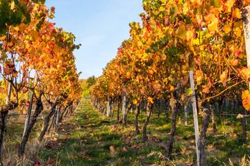 Fotoväggar - Weinstöcke mit leuchtend orangen Blättern im Sonnenlicht