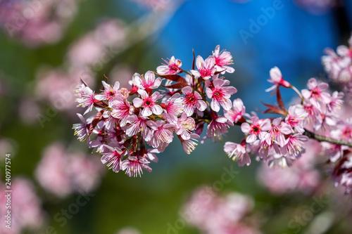 Wall mural Cherry blossoms sakura full bloom in spring.