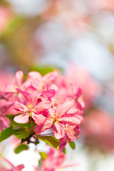 Blossom in pink and red cherry tree flower
