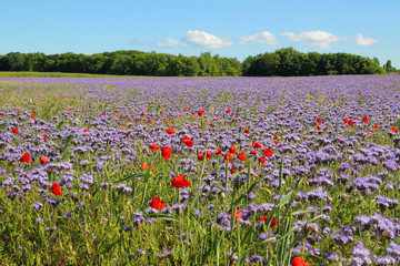 Panorama of the holiday island Ruegen in spring with poppies and Phacelia