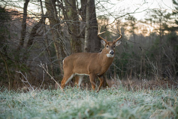 Foto op Textielframe Hert White-tailed deer buck in open meadow