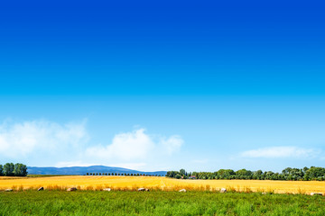 Colorful summer landscape with golden fields