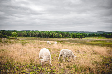 Sheep grazing on a meadow in misty cloudy weather