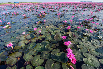 Red Lotus Lake in Udontani, Thailand