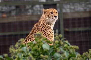 African cheetah( Acinonyx jubatus) . Cat in nature habitat.