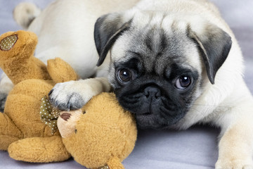 funny pug puppy playing with a soft toy, close-up
