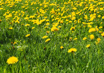Meadow Of Dandelions On A Sunny Day