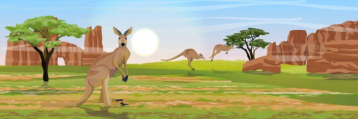 Three large red kangaroos on the Australian plains. Dry grass, rocks, acacia trees and eucalyptus trees. Wild nature of Australia. Realistic vector landscape.