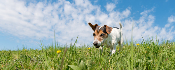 Jack Russell Terrier dog on a meadow in front of blue sky