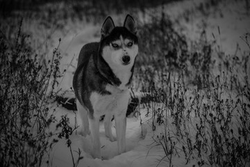 Siberian huskies in winter
