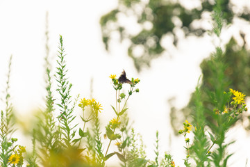 black swallowtail butterfly on sunflowers against a white sky. Space for text.