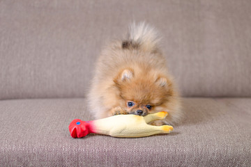 funny small pomeranian puppy playing on the couch with a toy