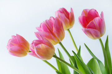 Pink tulip on white background.