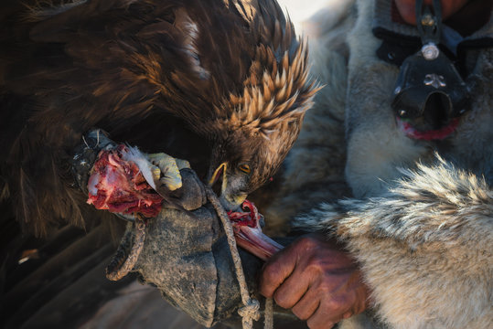 Life Of Mongolian Nomads.Large Hunting Berkut Tearing Its Beak And Claws A Bone With Raw Meat From The Hands Of His Master.Hunting With Golden Eagles In Mongolia.Feathered Predator Eats Prey