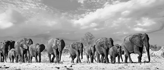 Panorama of a family herd of elephants walking across the African Plains in Hwange National Park, Zimbabwe, Southern Africa