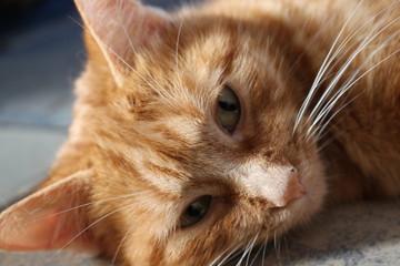 Regard de chat roux