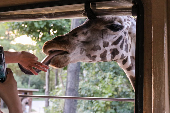 Tourists feed the giraffe and take pictures on the phone