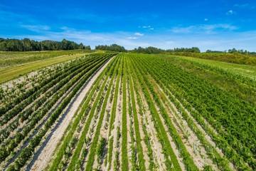 Pole uprawne, rzędy zielonych roślin. Zdjęcie z drona