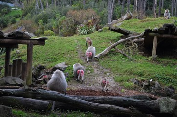 Group of hamadryas baboons with reddish-pink bottoms in Auckland zoo
