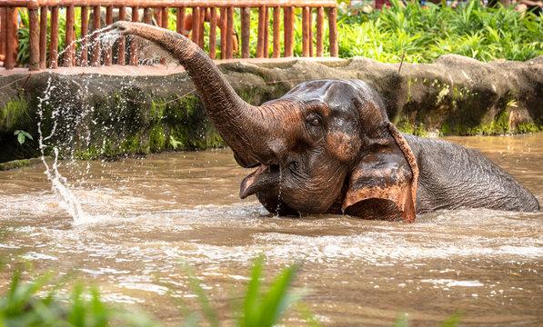 Beautiful female asian elephant, Elephas maximus, taking a bath.