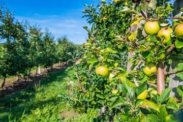 Obraz Sad owocowy, jabłonie - fototapety do salonu