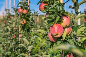 Obraz Sad owocowy z jabłoniami. Dojrzałe, czerwone jabłka - fototapety do salonu